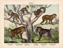 Majmok (2) litográfia 1886, német nyelvű, eredeti színes nyomat, majom, 32 x 41 cm, babuin, mandrill