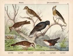 Pacsirta, seregély, vízirigó, énekes rigó, litográfia 1886, eredeti, 32 x 41 cm, nagy méret, madár