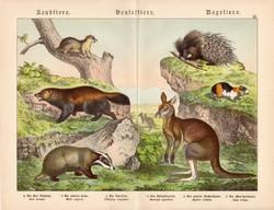 Ragadozók, erszényesek, rágcsálók, litográfia 1886, német, eredeti, nyomat, 32 x 41 cm, kenguru