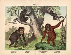 Majmok litográfia 1886, német nyelvű, eredeti színes nyomat, majom, 32 x 41 cm, orangután, gibbon