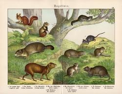 Rágcsálók (1), litográfia 1886, német, eredeti, színes nyomat, 32 x 41 cm, nagy méret, mókus, pele