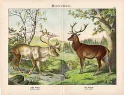 Rénszarvas, gímszarvas, litográfia 1886, német, eredeti, 32 x 41 cm, nagy méret, patások, szarvas