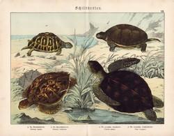 Levesteknős, cserepesteknős, mór és mocsári teknős litográfia 1886, eredeti, 32 x 41 cm, nagy méret