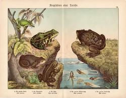 Varangy, pipabéka, kecskebéka, zöld levelibéka, litográfia 1886, eredeti, 32 x 41 cm, nagy méret