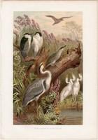 Bakcsó és gémformák, litográfia 1883, színes nyomat, eredeti, Brehm, Thierleben, állat, madár, gém