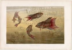 Nagyszárnyú halak, litográfia 1883, színes nyomat, eredeti, Brehm, Thierleben, állat, hal, óceán