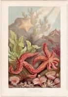 Tüskésbőrűek, litográfia 1884, nyomat, eredeti, német, Brehm, Thierleben, állat, óceán, tenger
