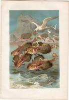 Repülőhal, litográfia 1883, színes nyomat, eredeti, Brehm, Thierleben, állat, hal, óceán, tenger