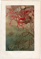 Vörös nemes korall, litográfia 1884, színes nyomat, eredeti, Brehm, Thierleben, állat, óceán, tenger