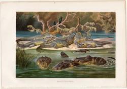 Fekete kajmán, litográfia 1883, színes nyomat, eredeti, Brehm, Thierleben, állat, hüllő, aligátor
