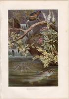 Sebes pisztráng, litográfia 1883, színes nyomat, eredeti, Brehm, Thierleben, állat, hal, folyó patak