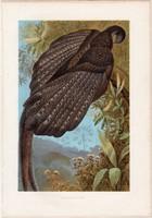 Argus - páva, litográfia 1883, színes nyomat, eredeti, Brehm, Thierleben, állat, madár, fácán, Ázsia