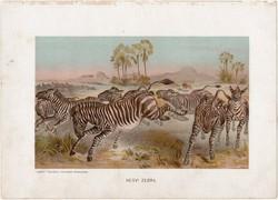 Hegyi zebra, litográfia 1903, színes nyomat, eredeti, magyar, Brehm, állat, Az állatok világa