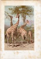 Zsiráf, litográfia 1903, színes nyomat, eredeti, magyar, Brehm, állat, Az állatok világa, Afrika