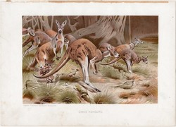 Óriás kenguru, litográfia 1903, színes nyomat, eredeti, magyar, Brehm, állat, Az állatok világa