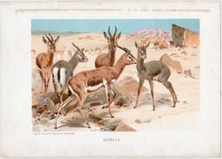 Gazella, litográfia 1903, színes nyomat, eredeti, magyar, Brehm, állat, Az állatok világa, Afrika