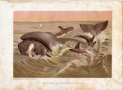 Grönlandi bálna, litográfia 1903, színes nyomat, eredeti, magyar, Brehm, állat, Az állatok világa