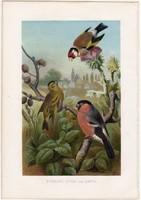 Tengelic, csíz, süvöltő, litográfia 1882, színes nyomat, eredeti, Brehm, Thierleben, állat, madár