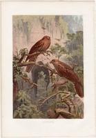 Zsírfecske, litográfia 1882, színes nyomat, eredeti, Brehm, Thierleben, állat, madár, szuszók