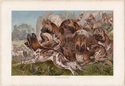 Afrikai vadkutya, litográfia 1883, színes nyomat, eredeti, Brehm, Thierleben, állat, hiénakutya