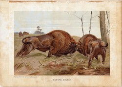 Európai bölény, litográfia 1903, színes nyomat, eredeti, magyar, Brehm, állat, Az állatok világa