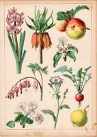 Alma, körte, kockásliliom, retek, litográfia 1880, eredeti, 24 x 34 cm, nagy méret, növény, gyümölcs