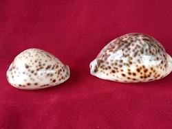 50  2 db nagyon szép tengeri csigaház 7 és 9,5 cm