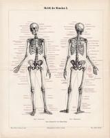 Az ember csontváza I., litográfia 1898, színes, eredeti, anatómia, gyógyászat, csont, csontváz, fog