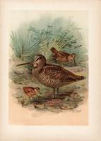 Szalonka, litográfia 1897, eredeti, 28 x 40 cm, nagy méret, madár, Európa, színes nyomat, scolopax