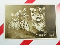 Régi képeslap levelezőlap - Caesarina királytigris - A székesfővárosi állatkert kiadása 1910-es évek