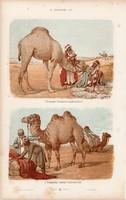 Teve, dromedár és zsiráf, pézsmaszarvas, láma, litográfia 1885, eredeti, 26 x 42 cm, nagy méret