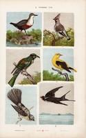 Sárgarigó, csonttollú, fecske és csuszka, függőcinege, litográfia 1885, eredeti, 26 x 42 cm, madár