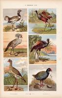 Dobosdaru, takahe és szalonka, homokjáró, strucc, litográfia 1885, eredeti, 26 x 42 cm, madár, állat