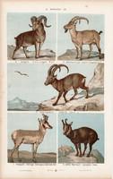 Antilop, argali, kecske és vaddisznó, sertés, szarvasmarha , litográfia 1885, eredeti, 26 x 42 cm