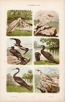 Pelikán, kárókatona és rablósirály, halfarkas, pingvin, litográfia 1885, eredeti, 26 x 42 cm, madár