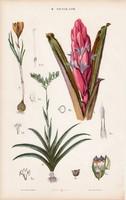Cukorcserje, burmania és rákollóvirág, oberonia, litográfia 1885, eredeti, 26 x 42 cm, növény, nagy