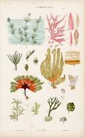 Alga, zöldmoszat és gomba, csiperke, kovamoszat, litográfia 1885, eredeti, 26 x 42 cm, nagy méret