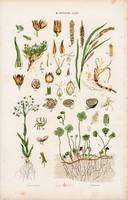 Sás, rezgőfű, szittyó és moszatpáfrány, örökegy, litográfia 1885, eredeti, 26 x 42 cm, növény, nagy