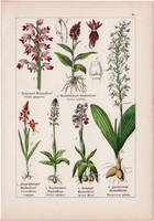 Bíboros kosbor, bibircsvirág, sarkvirág és madársisak, bangó, litográfia 1895, 17 x 25 cm, növény