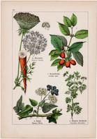 Vadmurok, húsos som, borostyán és lizinka, békaliliom, tikszem, litográfia 1895, 17 x 25 cm, növény