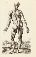 Az ember izomzata 6., anatómia, izom, test, egyszín nyomat 1978, 28 x 44 cm, nagy méret, fakszimile