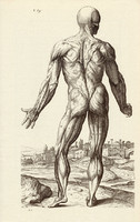 Az ember izomzata 5., anatómia, izom, test, egyszín nyomat 1978, 28 x 44 cm, nagy méret, fakszimile