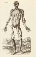 Az emberi test 4., anatómia, izom, koponya, egyszín nyomat 1978, 28 x 44 cm, nagy méret, fakszimile