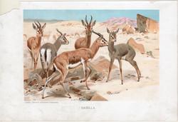 Gazella, litográfia 1907, színes nyomat, eredeti, magyar, Brehm, állat, párosujjú patás, Ázsia