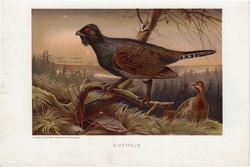 Siketfajd, litográfia 1907, színes nyomat, eredeti, magyar, Brehm, állat, madár, Európa, fácán