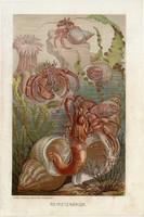 Eredeti, magyar nyelvű litográfia  Alfred Brehm: Az állatok világa  (1901 - 1907) egyik litográfiája