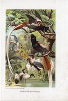 Paradicsom légyvadászok, litográfia 1907, színes nyomat, eredeti, magyar, Brehm, állat, madár