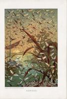 Kérész, litográfia 1907, színes nyomat, eredeti, magyar, Brehm, állat, szárnyas rovar, Európa, vízi