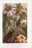 Kabócák, litográfia 1907, színes nyomat, eredeti, magyar, Brehm, állat, kabóca, külföldi, rovar