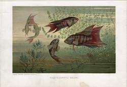 Nagyszárnyú halak, litográfia 1907, színes nyomat, eredeti, magyar, Brehm, állat, hal, óceán, tenger